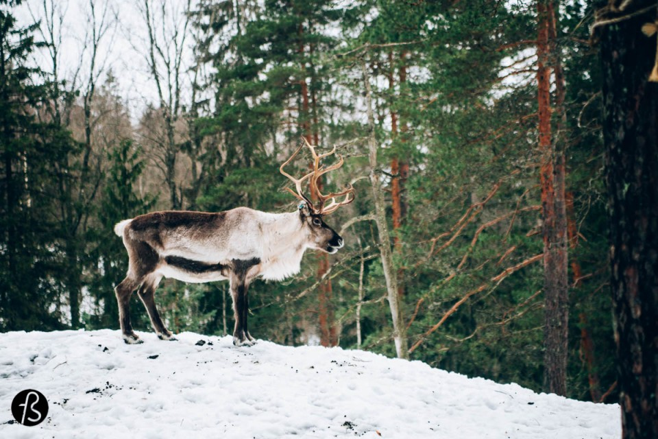 Who wants to feed the reindeers in Finland?