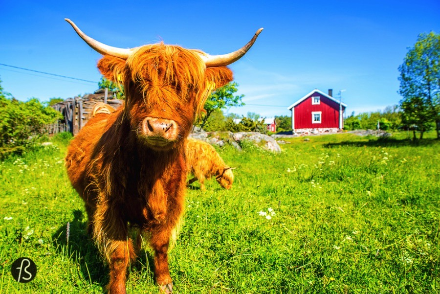 To take you to see the emo cows Can life be any better than spending hours with those cute and friendly animals? NO! They even demand petting hahahaha