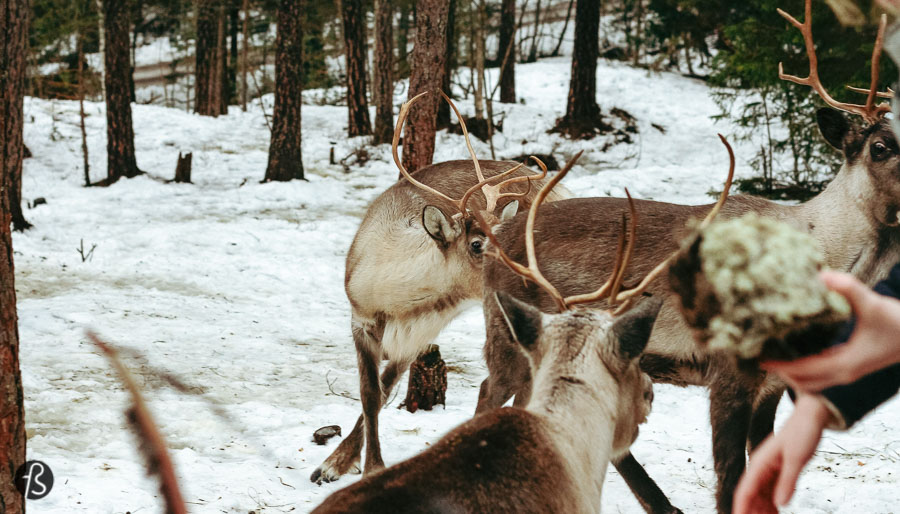 Since I just brought you over to Espoo, you have to enjoy the fact that you are close to the only place in the south of Finland where you can feed and pet reindeer. Since those animals are usually found only in the north of the country, the fact that a place like Sea & Mountain Adventures exists is more than special.