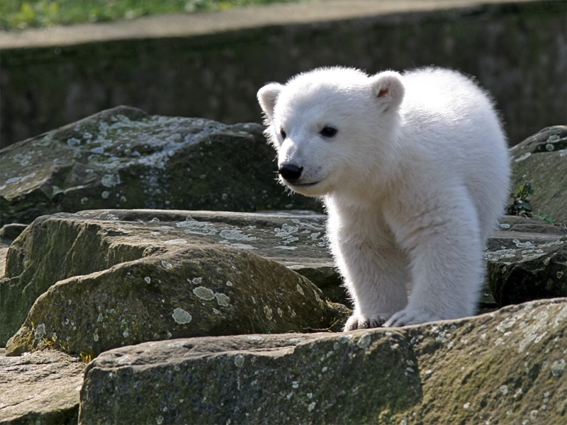 Knut and Friends: The story of a polar bear in the Berlin Zoo