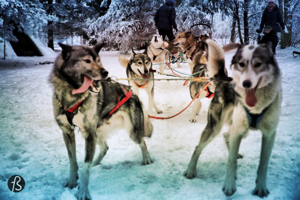 Marcela Fae - Fotostrasse - dog sledding in finland - husky happy dogs