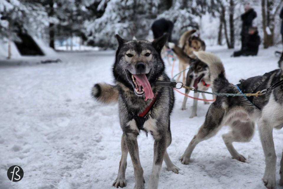 Marcela Fae - Fotostrasse - dog sledding in finland -196