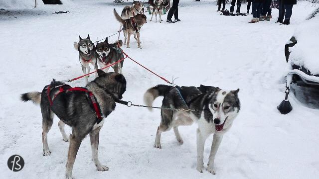 Marcela Fae - Fotostrasse - dog sledding in finland - husky happy dogs
