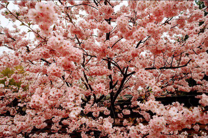 Best spots for cherry blossoms in Berlin