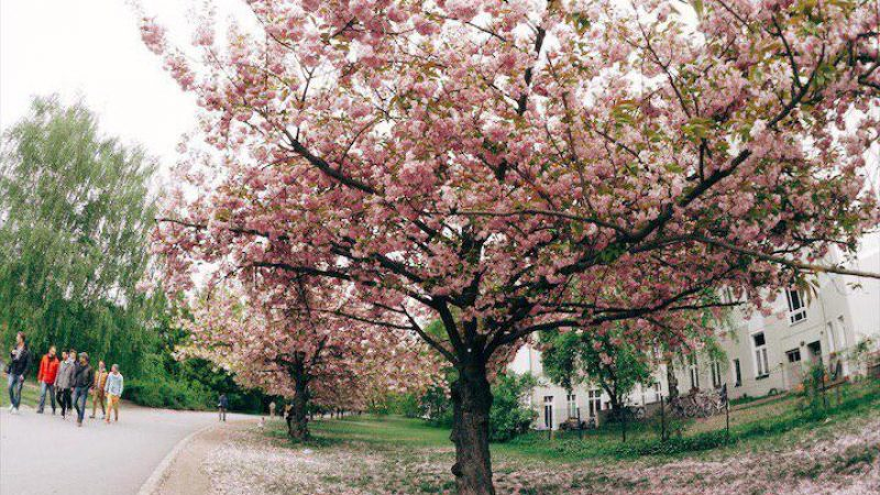 Best spots for cherry blossoms in Berlin via @fotostrasse